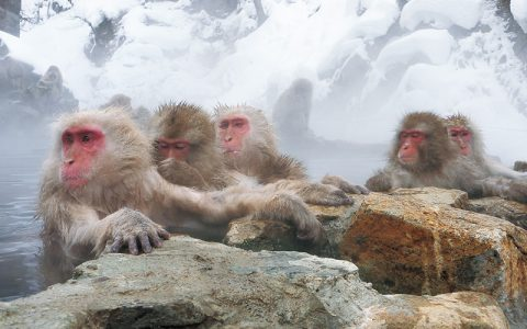 Snow Monkeys / Jigokudani Yaen-koen