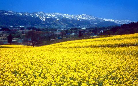 Nanohana Flowers