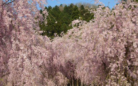 Cascading Cherry Tree at Takeda