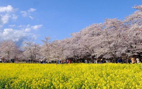 Akagi Nanmen Senbonzakura (Cherry Blossom Festival)